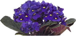 African Violet Reduces Stress