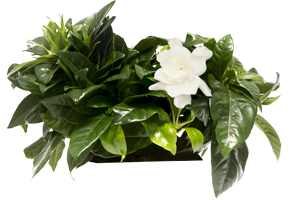Gardenia Plant Stimulates the brain
