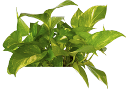 Golden Pothos Prevents Chest Pain