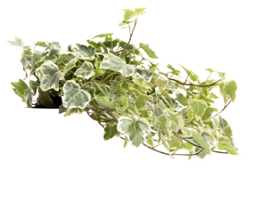 English Ivy Reduces Nausea