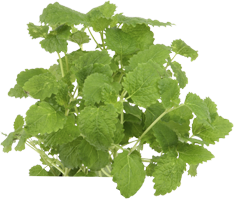 Lemon Balm Plant Improves Mood