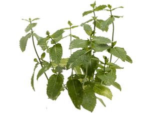 Peppermint plant Enhances Memory